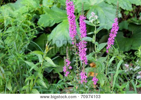 Purple loosestrife