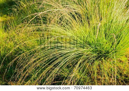 Tussock Of Bunchgrass From Close