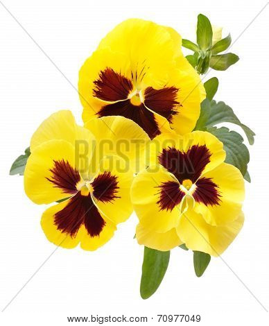 Viola Flowers Isolated On White Background
