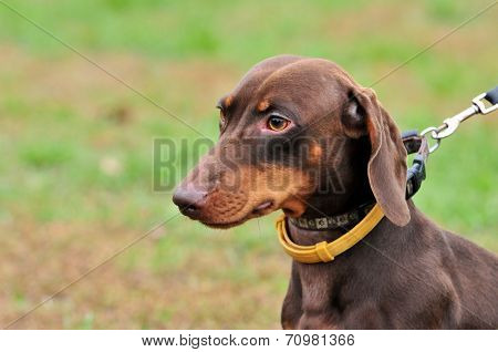 Standard smooth dachshund, color brown, male.