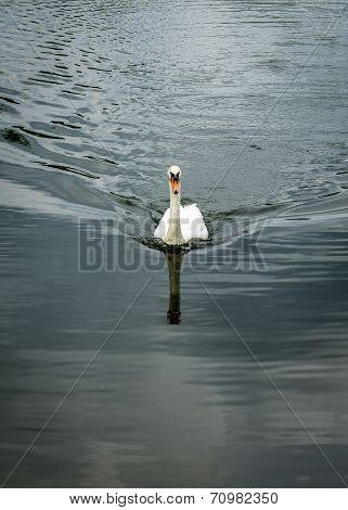 Mute Swan Towards Camera