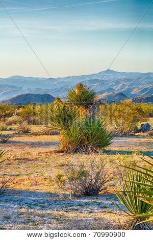 Yucca Landscape