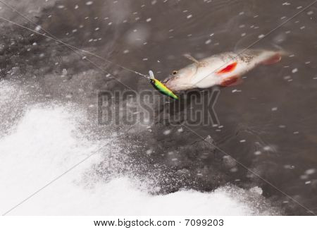 Perch Being Pulled Out Of Water