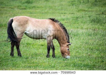 Przewalski Horse Equus Ferus Przwealski In Captivity
