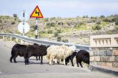 picture of jabal  - Image of sheeps at a road in Oman on Jebel Akhdar - JPG