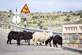 image of jabal  - Image of sheeps at a road in Oman on Jebel Akhdar - JPG