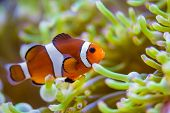 image of clown fish  - Clown fish in coral reef - JPG