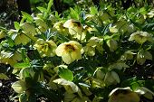 stock photo of lenten  - Yellow Lenten Roses shine in the winter sun - JPG