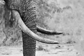 foto of tusks  - Muddy elephant trunk and tusks close - JPG