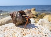foto of hermit  - the big hermit crab on a stone