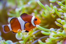 image of clowns  - Clown fish in coral reef - JPG