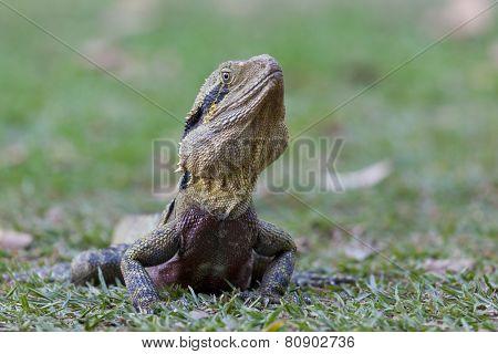 Male Eastern Water Dragon, Queensland, Australia