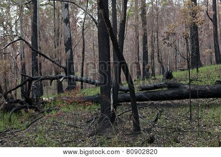 Eucalyptus forest in New South Wales, Australia regenerating after a fire