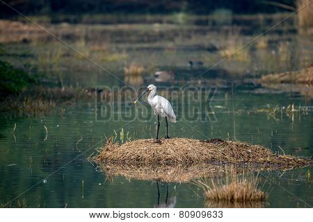 Eurasian Spoonbill full height