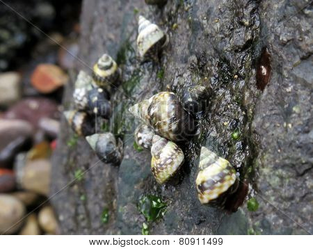 Checkered Periwinkles Up Close