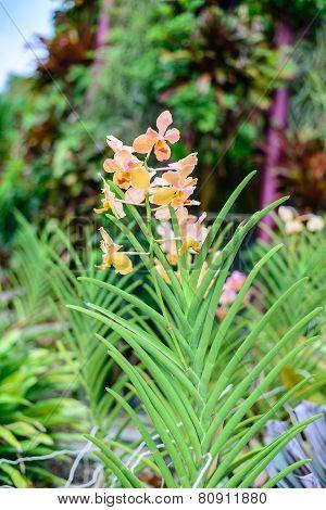 Pink Dendrobium Faisal Orchid Flower