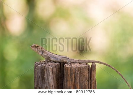 Closeup Of Changeable Lizard On Tree