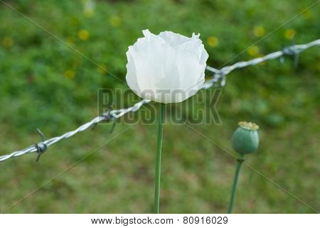 White Opium Poppy Flower.