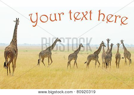 Herd Of Giraffes With Copyspace And Example Text