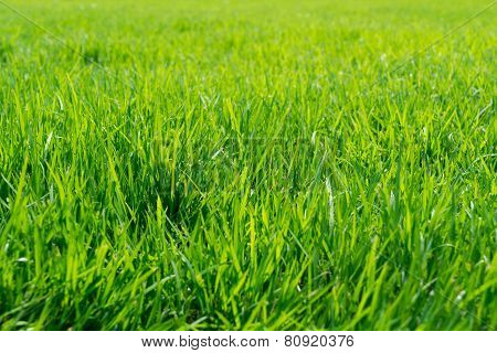 Close up of fresh grass