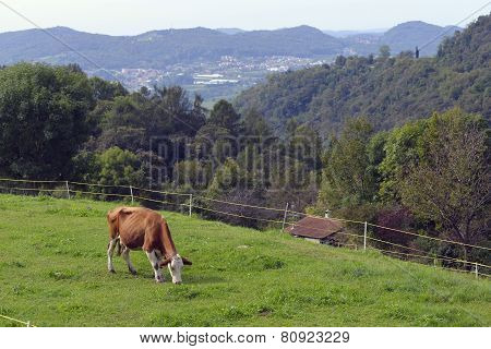 Cow Grazing On A Green Pasture.
