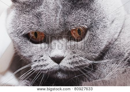 Funny Gray British Cat With Bright Yellow Eyes