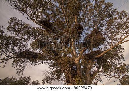 big stork nests on a big tree