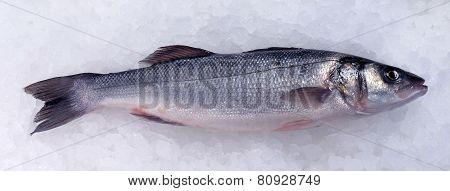 Seabass (dicentrarchus Labrax) On Ice