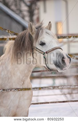 Beautiful Shetland Pony Portrait In Winter