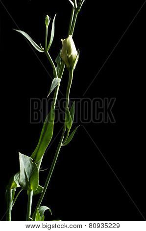 Bud Of Eustoma-flower