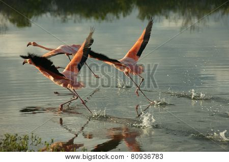 Galapagos Flamingoes in Santa Cruz Islands