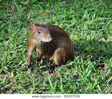 Agouti among a grass.