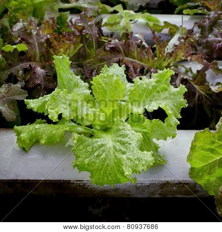 Organic Hydroponic Vegetable Cultivation Farm - Close Up.