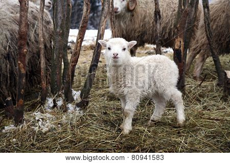 Lamb, skudde breed sheep