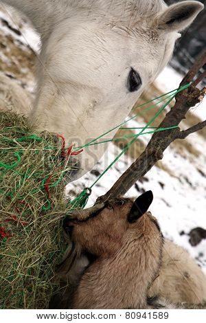 Goat and horse eating hay during winter time.