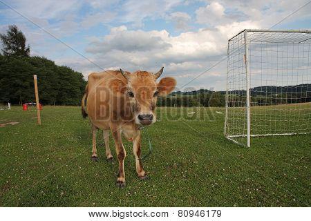 Cows Grazing On A Summer Pasture Between Football Goal