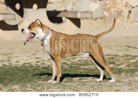 Red pitbull posing