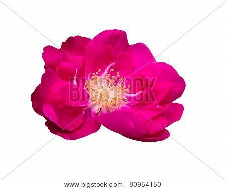Luminous Pink Dog Rose