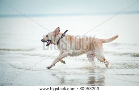Labrador Retriever Runs In Water