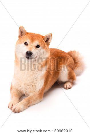 Shiba Inu sits on a white background