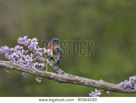Male Bluebird Perched in Lilacs