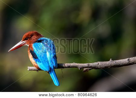 blue Kingfisher bird, on a branch, beak left