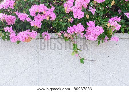 Bougainvillea Flower On Gray Wall