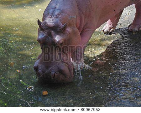 Hippo drinking.
