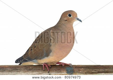 Mourning Dove On A Fence