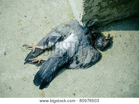 Dead bird on pavement