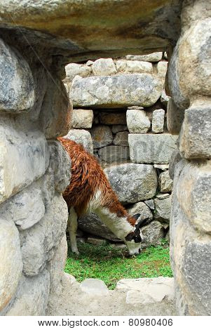 Llama In Machu Picchu, Peru