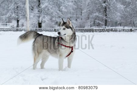 Siberian Husky winter.