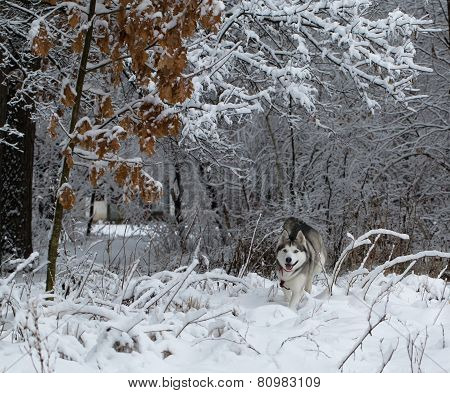 Siberian Husky winter.