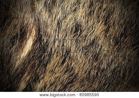 Beautiful Texture Of Wild Boar Fur
